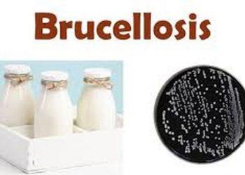 Bệnh Brucellosis và những vấn đề cần biết