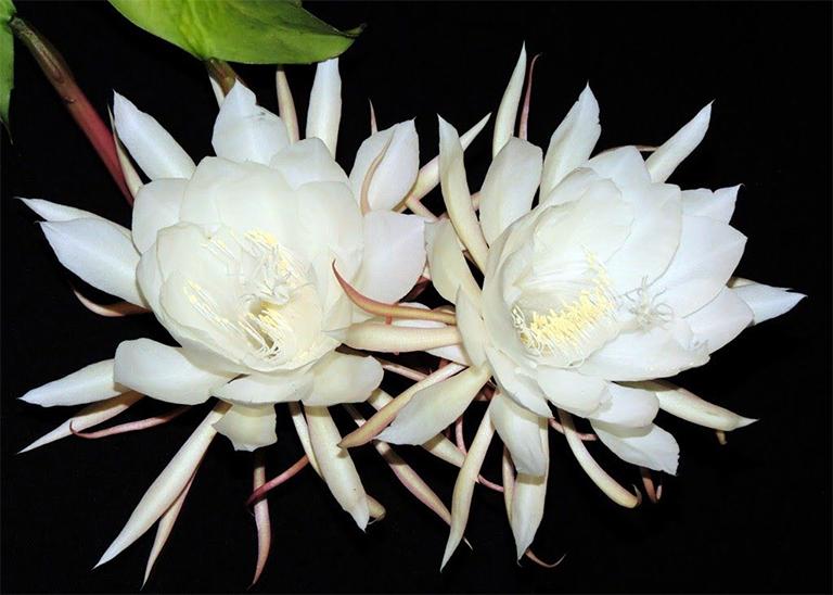 Cây hoa quỳnh và công dụng làm thuốc của cây