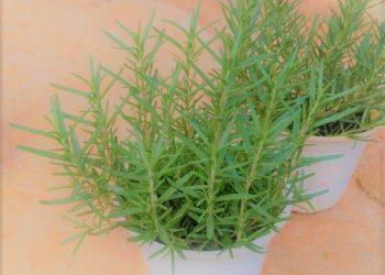Cây hương thảo và công dụng của cây trong Đông Y