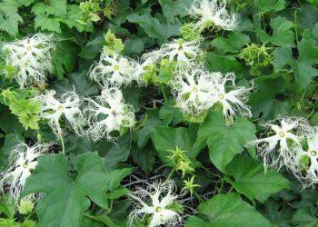 Thiên hoa phấn có chức năng gì?