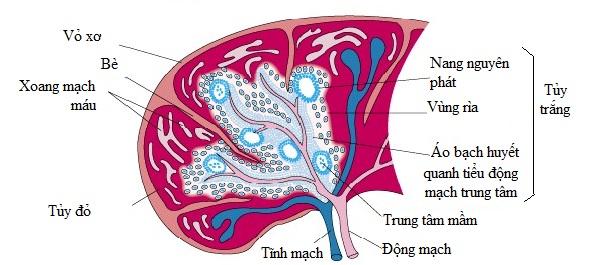 u lympho nguyên phát lách