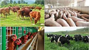 Ngành Chăn nuôi ra trường làm gì
