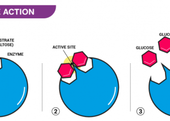 Enzyme là gì? Cấu trúc và Phân loại Enzyme