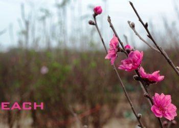 Hoa đào trong tiếng anh được định nghĩa và phát âm như thế nào ?